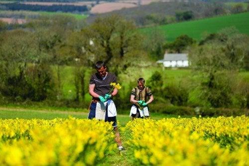 Seasonal eastern european migrant works picking Daffodils on a flower farm in Cornwall, UK